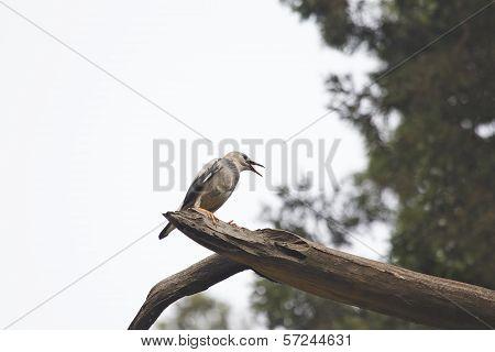 Red-billed Starling (sturnus Sericeus)