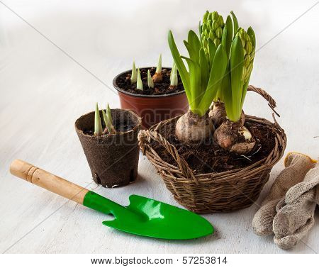 Three Hyacinth In Basket And Garden Tools