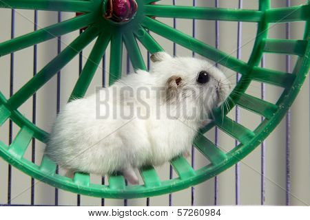 little hamster running in a wheel and cage