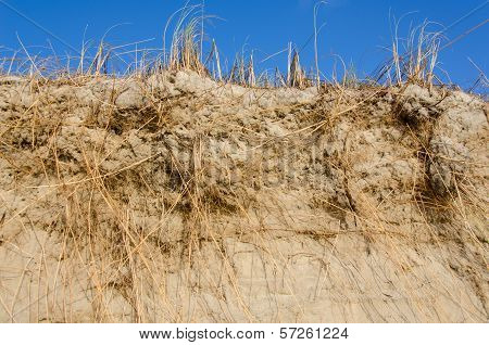 Beach Grass, Ammophila