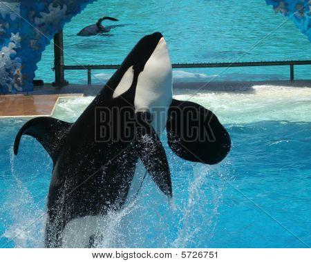 A breaching orca