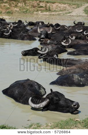 Water Buffalo Wallowing In Mud, Hungary
