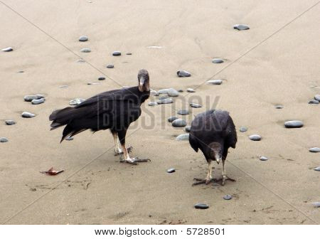 Vultures Hanging At The Beach