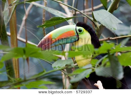 Brightly Colored Tucan