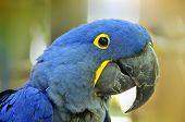 picture of green-winged macaw  - The Hyacinth Macaw  - JPG