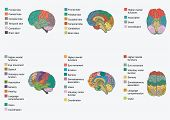 image of psychology  - Human brain anatomy - JPG