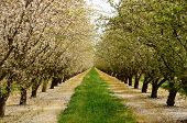 stock photo of orchard  - Almond orchard in the Central California agricultural area - JPG