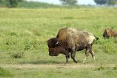 image of wallow  - A large bull bison covered with dirt from wallowing in the dust wallow in the foreground - JPG
