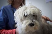 foto of west highland white terrier  - West highland white terrier dog with veterinarian during examination