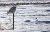 stock photo of hedwig  - Juvenile Snowy Owl sits perched on a fence post - JPG