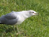 Ring Billed Gull Open Beak