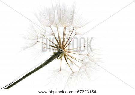 Bits Of Fluff With Seeds Of The Dandelion