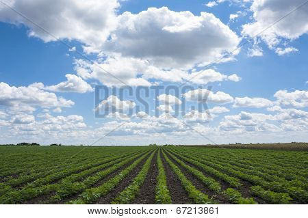 Green Soy Fields