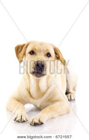 Sad Looking Labrador Retriever