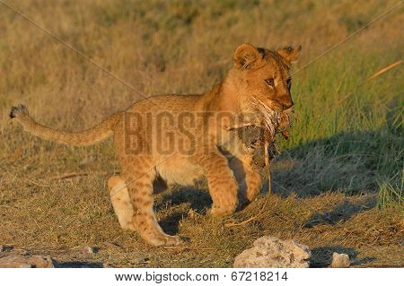 Lion cub killing grass tuft