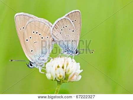 Two Butterflies On Flower Macro
