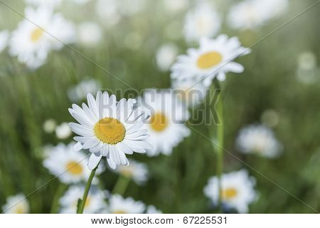 Beautiful daisies in the morning sunlight