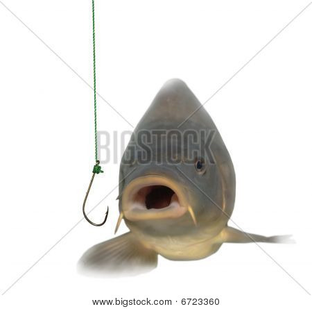 Lively Carp And Empty Hook