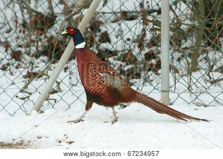 Ringneck Pheasant Walking On The Snow In Winter