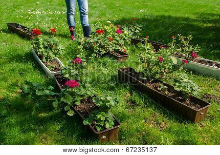 Pelargonium Pots Garden Meadow And Gardener Boots