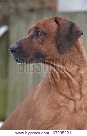 Rhodesian Ridgeback In Winter