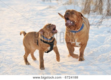 Two Dogues De Bordeaux Playing