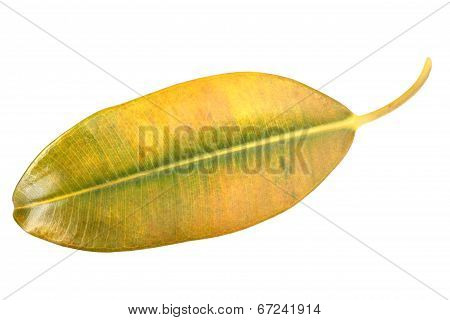 Yellow-green Leaf Of Pipal