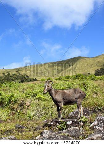 Rare And Endangered Nilgiri Tahr