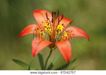 Closeup Of Wood Lily