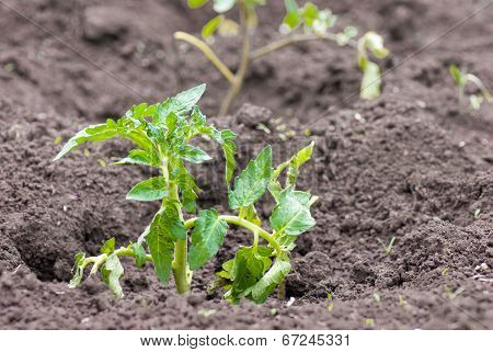 Young Green Bush Of Tomato