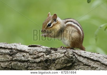 Eastern Chipmunk On A Log