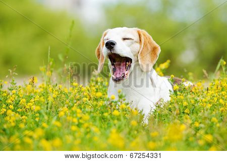 beautiful beagle dog outdoors