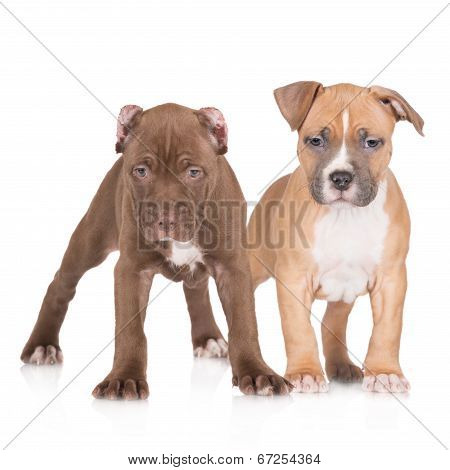 american pit bull and staffordshire terrier puppies