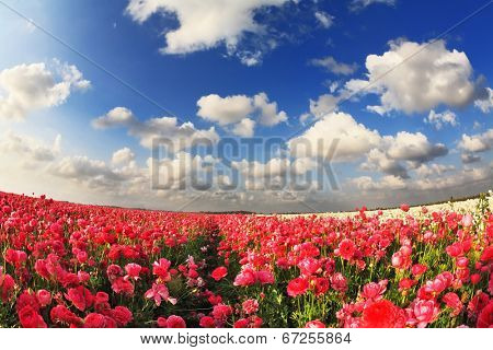 Boundless field with blooming garden cultural buttercups. Spring