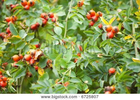 Briar Fruits And Branches