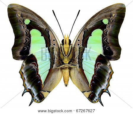 Close Up Of Common Nawab Butterfly As Lower Wing Profile In Natural Color Isolated On White Backgrou