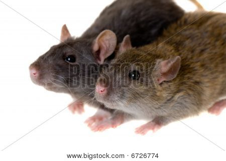 Two Small Domestic Rats