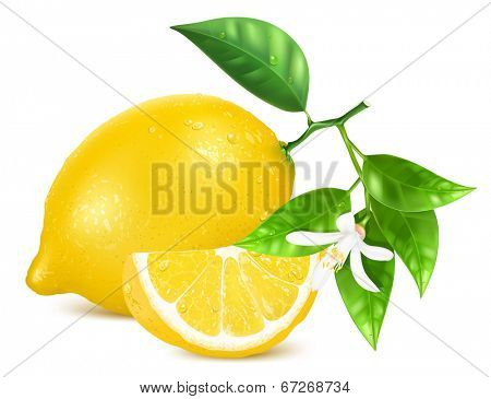 Vector illustration of fresh lemons with leaves and lemon blossom.