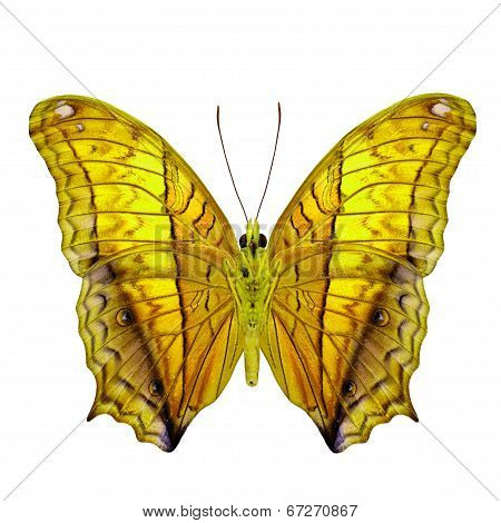 Fancy Yellow Butterfly Isolated On White Background