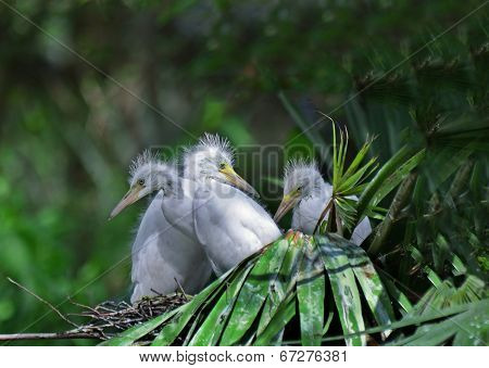 A clutch of Egret chicks look out of their nest.