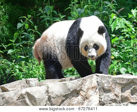 A Giant Panda surveys his surroundings
