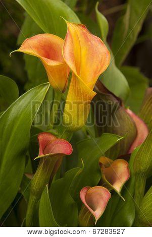 Calla Lilies In The Garden