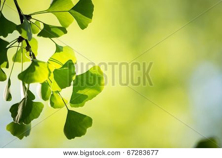 Ginkgo biloba tree branch with leafs against lush green background, blurry