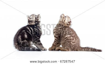 Two Kittens Cats Sitting Opposite And Looking Up