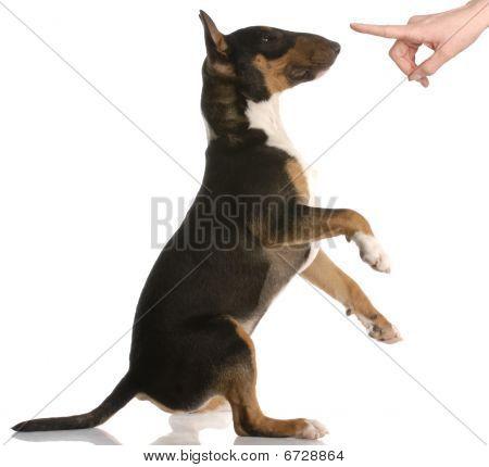 Bull Terrier Getting Reprimanded