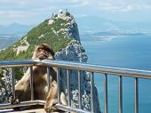 picture of macaque  - A Barbary macaque rests on the guard railing over a sheer cliff at the summit of the rock of Gibraltar.