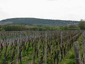 foto of tokay wine  - Vineyard and countryside during spring the plain of Alsace in France - JPG