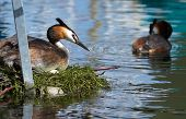 foto of great crested grebe  - Crested grebe duck  - JPG