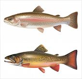 stock photo of brook trout  - Rainbow trout and brook trout isolated on white - JPG