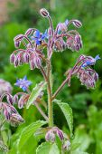 stock photo of borage  - Borage officinalis rare blue flower in a garden - JPG